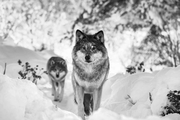 Índice PIBB11 - Dois lobos em meio a uma floresta com neve